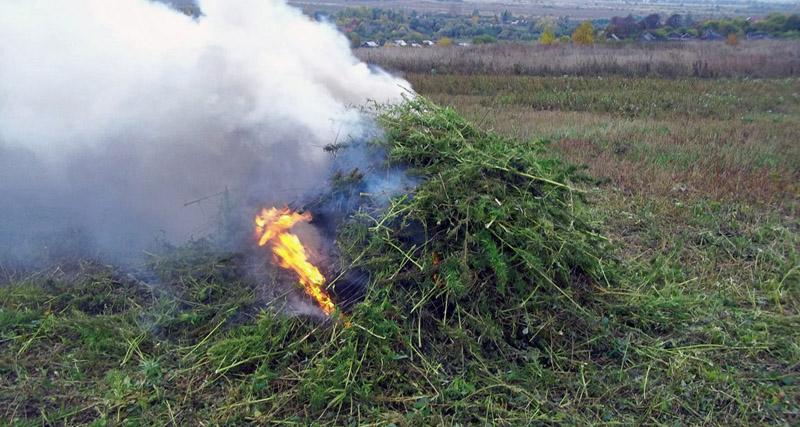 ВВоронежской области сожгли 750кг конопли
